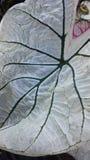 Caladium & x28 Καρδιά του Ιησού, των φτερών αγγέλου, ή του ελέφαντα Ear& x29  Φύλλο φυτού Στοκ φωτογραφίες με δικαίωμα ελεύθερης χρήσης