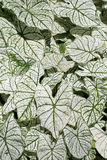 Caladium Royalty Free Stock Images