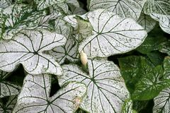 Caladium Stock Image