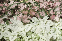 Caladium Photo libre de droits
