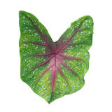 Caladium Fotografia Royalty Free