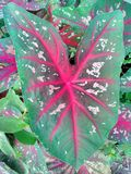Caladium Obraz Stock