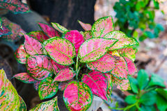 Caladium Images stock