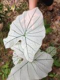 Caladium Allure leaf Stock Image