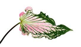 Caladium bicolor con la foglia e l'innamorato rosa di Florida delle vene di verde, fogliame rosa del Caladium isolato su fondo bi Fotografie Stock