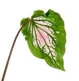 Caladium bicolor con la foglia e l'innamorato rosa di Florida delle vene di verde, fogliame rosa del Caladium isolato su fondo bi Immagini Stock Libere da Diritti