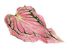Caladium bicolor con la foglia e l'innamorato rosa di Florida delle vene di verde, fogliame rosa del Caladium isolato su fondo bi Fotografie Stock Libere da Diritti