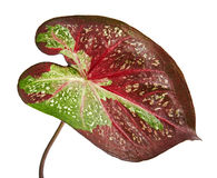 Caladium bicolor leaf or Queen of the Leafy Plants, Bicolor foliage isolated on white background. With clipping path stock photos
