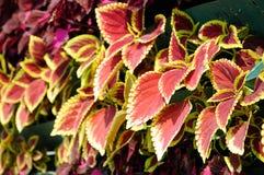 Caladium bicolor Stock Images