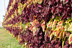 Caladium bicolor Royalty Free Stock Photo