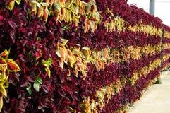 Caladium bicolor Stock Photo