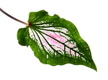 Caladium bicolor with pink leaf and green veins Florida Sweetheart, Pink Caladium foliage isolated on white background. With clipping path Royalty Free Stock Photography