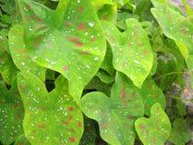 Caladium bicolor plant Stock Photo