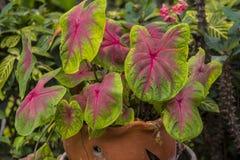 Caladium bicolour boom in bruine bloempot stock afbeelding