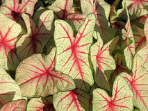 Caladium-Blätter während des Sommers Stockbild