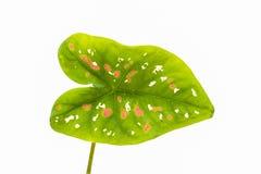 Caladium con hojas de lujo imagenes de archivo