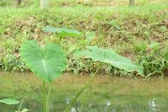 Caladium den tropiska växten som är fullvuxen i första hand för dess ätliga rotknölar, rotfrukterna arkivbild