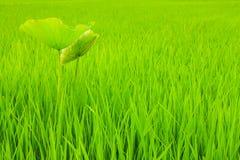 Caladium en campo del arroz Fotos de archivo