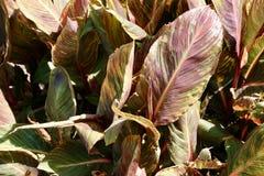 Caladium Flowers Royalty Free Stock Photography