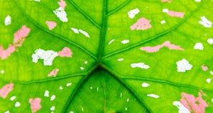 Caladium-fondo con hojas de lujo Imágenes de archivo libres de regalías
