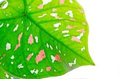 Caladium-fondo con hojas de lujo Imagen de archivo libre de regalías