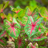 Caladium Stock Photos