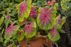 Caladium bicolour tree in brown flower pot Stock Image