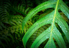 Caladium green leaf Royalty Free Stock Photo