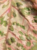 Caladium leaf Royalty Free Stock Image