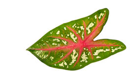 Caladium leaf Royalty Free Stock Images