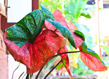 Caladium Leaf Stock Images