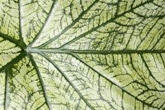 Caladium leaf background Royalty Free Stock Images