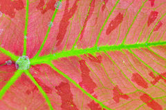 Caladium leaf background Stock Photos