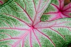 Caladium leaf detail Royalty Free Stock Photo