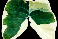 Caladium leaf Stock Photography