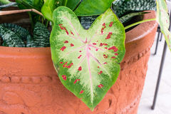 Caladium leaf green with pink veins Royalty Free Stock Image