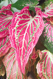 Caladium Leaf Royalty Free Stock Photos