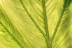 Caladium leaf transparency Stock Image