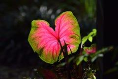 Caladium Leave in the Nature Coast Botanical Garden Royalty Free Stock Photos