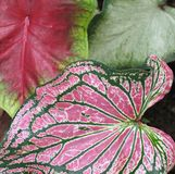 Caladium Leaves. Caladium colorful leaves; focus on front one royalty free stock images