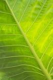 Caladium leaves. Green nature texture Stock Image