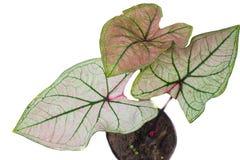 Caladium. Leaves isolated Stock Photography