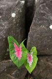 Caladium leaves in rock Stock Photography