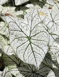 caladium liści, Fotografia Royalty Free