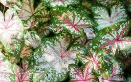 Caladium plant big colorful leaves stock photography