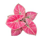 Caladium Queen of the Leafy Plants top view isolate on white background royalty free stock photos