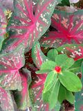 Caladium red. Caladium flowers background Royalty Free Stock Photography
