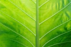 Caladium tekstury zieleni liść dla tła Obrazy Royalty Free