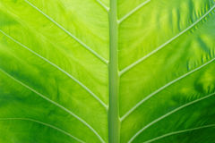 Caladium texture green leaf for background Royalty Free Stock Images