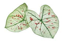 Caladium truskawki gwiazdy zieleni ulistnienia rośliny tropikalni liście odizolowywający na białym tle, ścinek ścieżka obraz royalty free